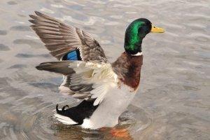 Ducks of Kansas