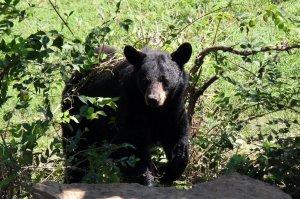 Big Predators Return to Kansas: Black Bears