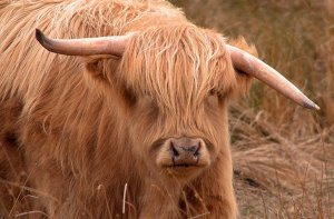 Pros and Cons of Horned Livestock