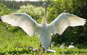 Geese & Swans of Kansas