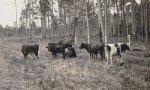What is a Landrace Breed?