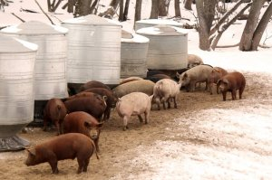Veterinary Feed Directive Affects Small Farms, Too