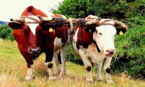 Which Draft Animal is Right for You?: Oxen