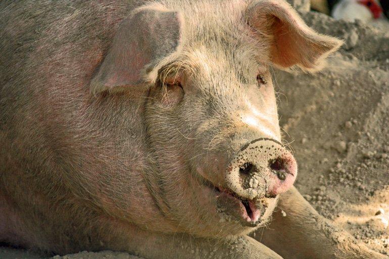 Body Condition Scoring: Swine