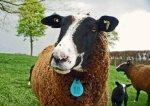 Body Condition Scoring: Sheep