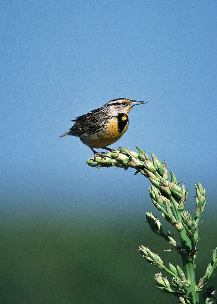 Birds of Kansas
