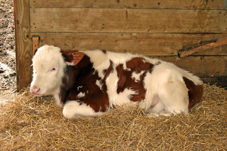 Pros and Cons of Deep-Litter Bedding