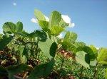 How Glyphosate-Resistant Crops Work