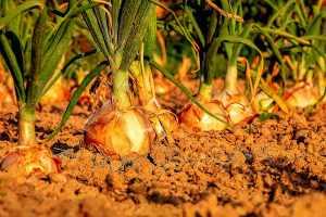 Free Vegetable Gardening PDFs
