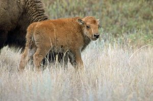 Lessons From the Bison