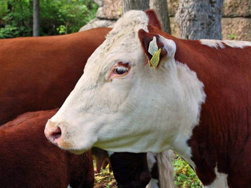 British and Continental Cattle Breeds