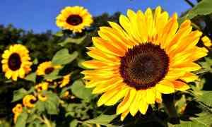 How the Kansas Legislature Tried to Eradicate the Sunflower