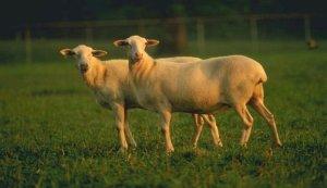 What is a Hair Sheep?