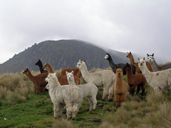 What is the Difference Between a Llama and an Alpaca?