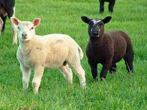 Why Do Sheep Owners Dock Lambs' Tails?