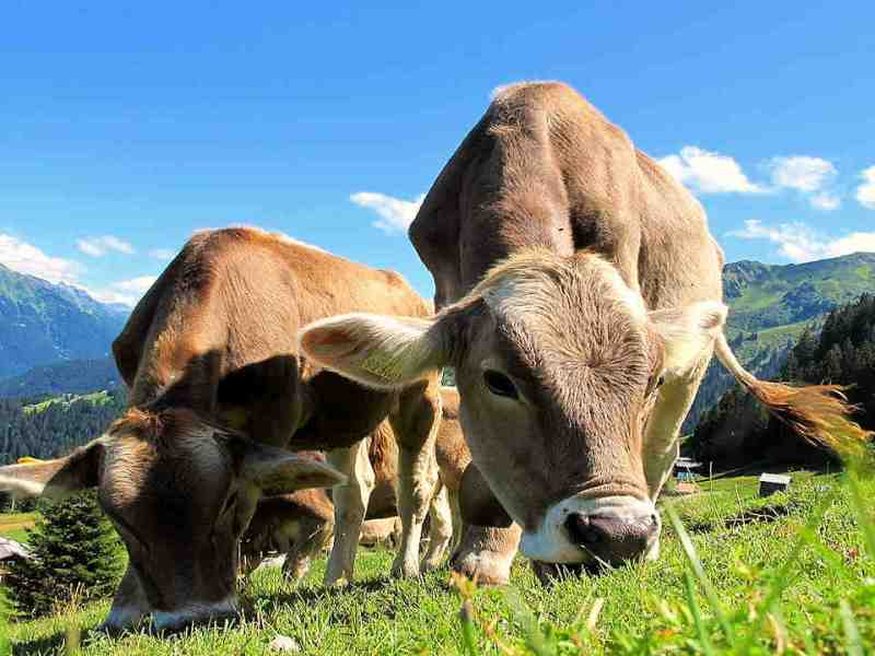 Grazing Management by Species: Cattle