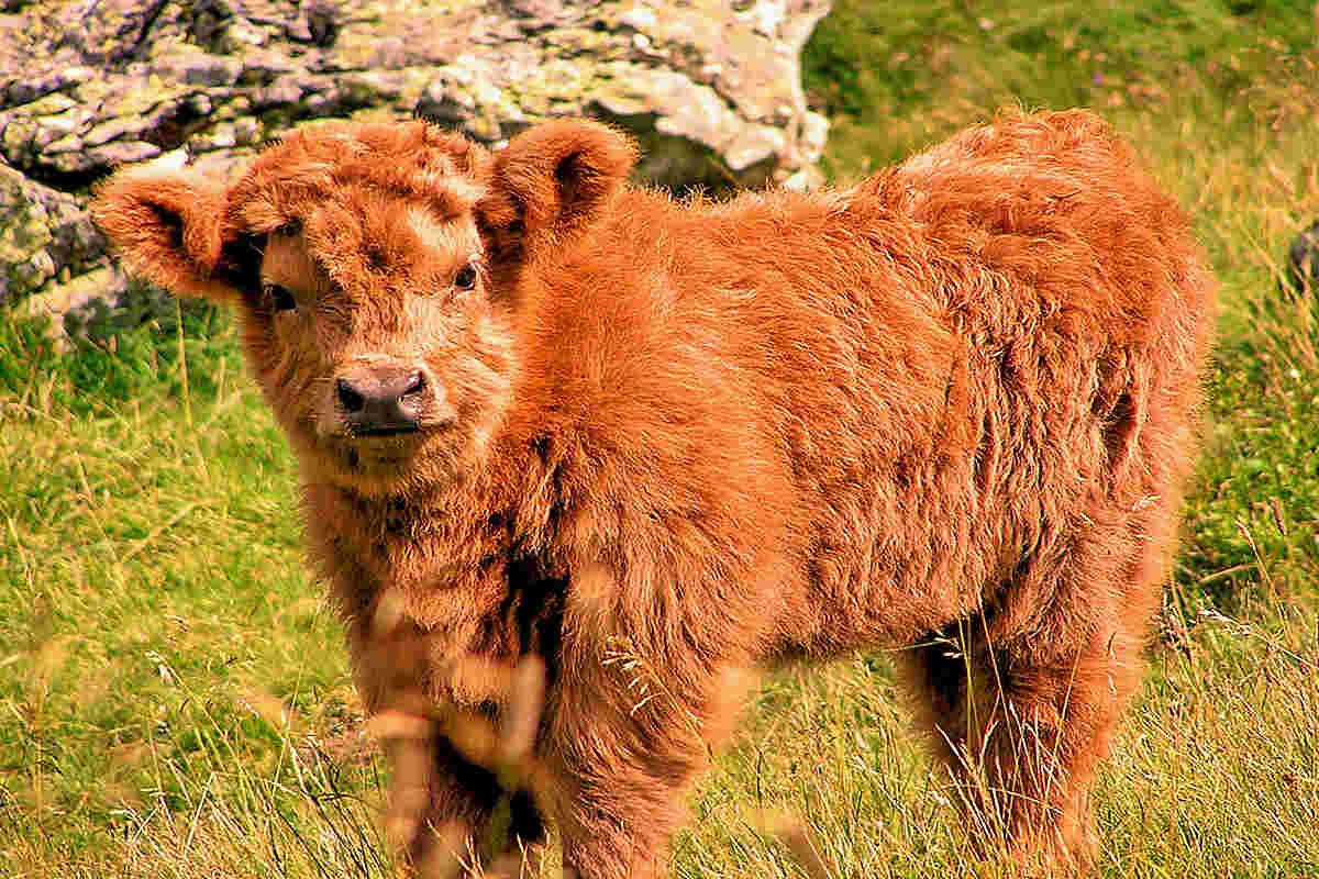 Top 10 Reader-Favorite Cattle Breeds