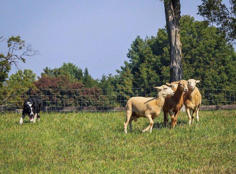 A Sheepdog's Glossary