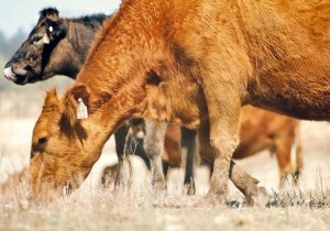 Intensive Grazing: An Introductory Homestudy Course