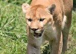 Big Predators Return to Kansas: Mountain Lions