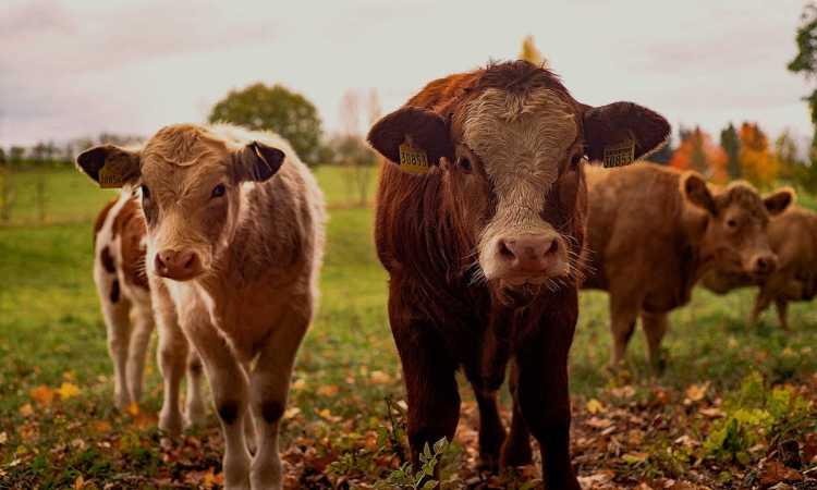 Cattle Quick Start