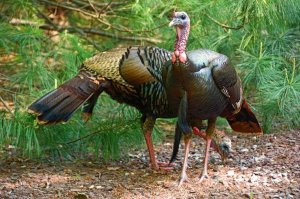Attracting Turkeys to Your Yard