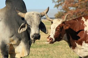 The Two Subspecies of Cattle