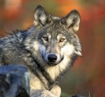 Big Predators Return to Kansas: Gray Wolves