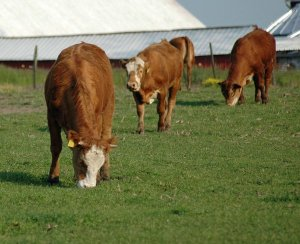 What is Management-Intensive Grazing?