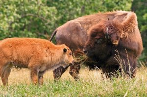 8 Ideas for a Bison Business