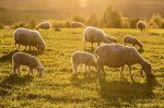 An Introduction to Sheep Dairying