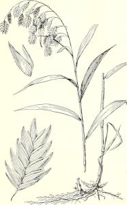 Broad-Leaf Wood-Oats