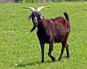 Body Condition Scoring: Goats