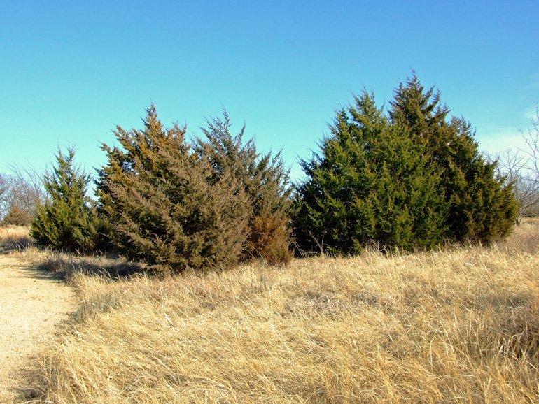 Red Cedar Invasion