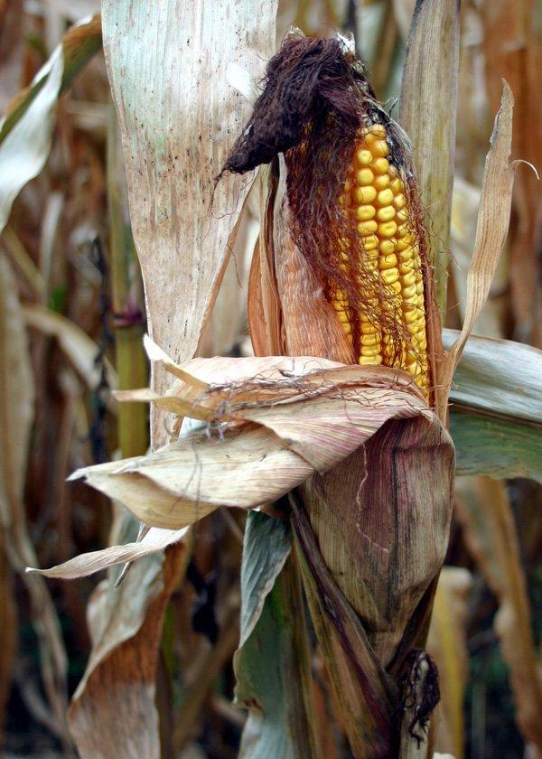 The Story of Sod Corn Jones