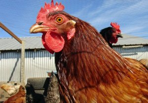 What is a Chicken's Comb For?