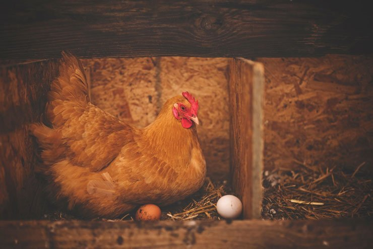 The Broody Hen vs. the Incubator