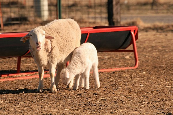 Carneiro: The Sheep Town