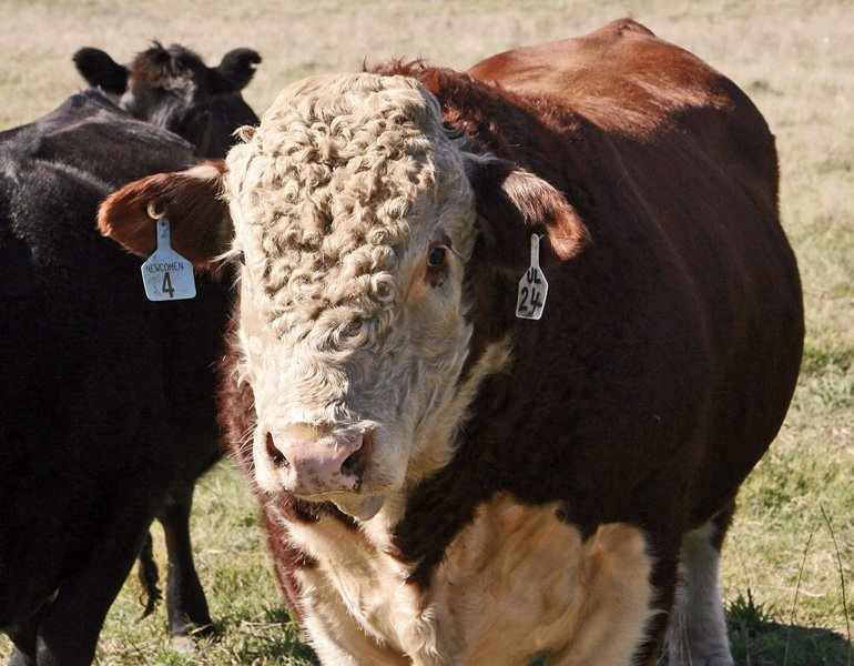 EPDs for Beef Cattle: Crunching the Numbers