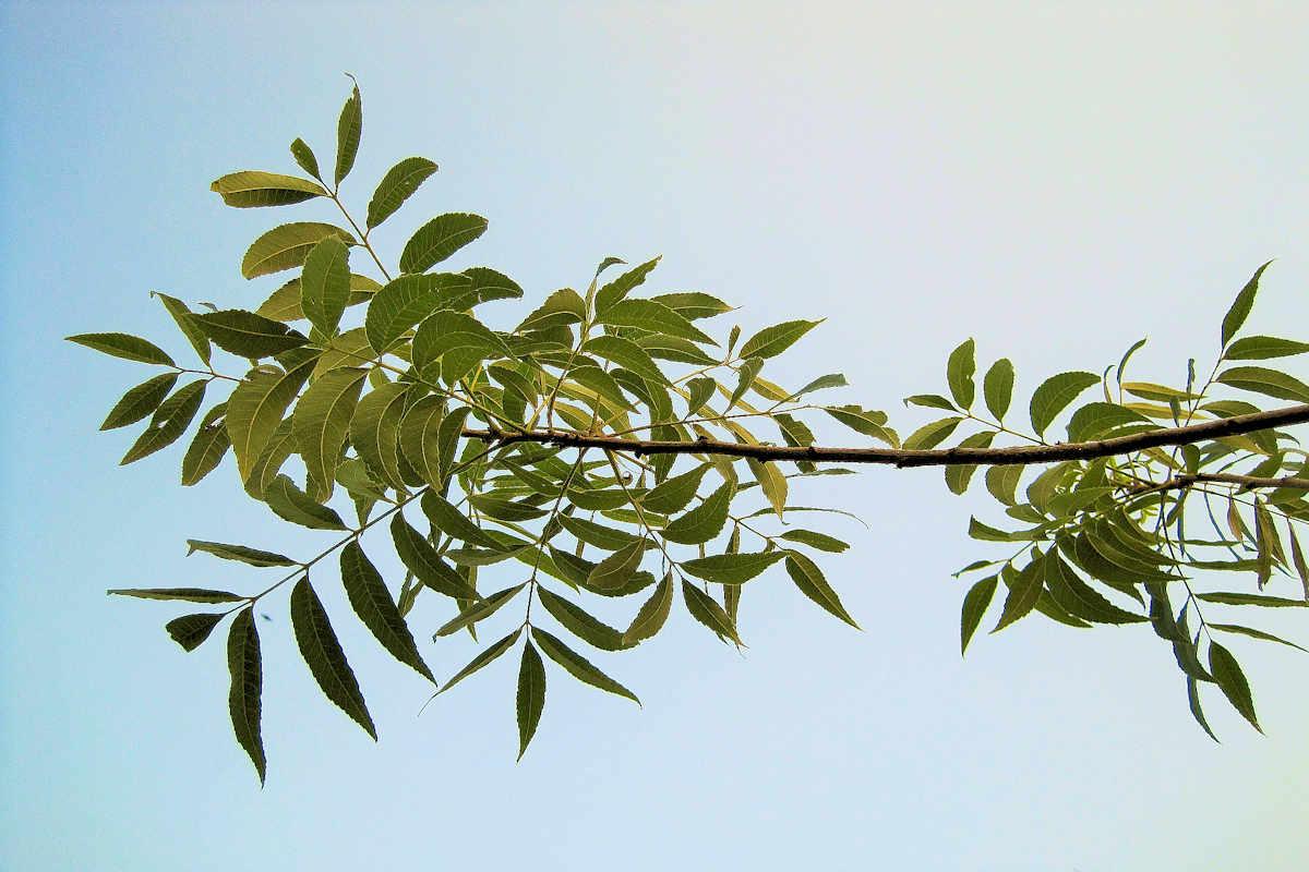 Nickel in Plants