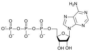 What is Adenosine Triphosphate (ATP)?