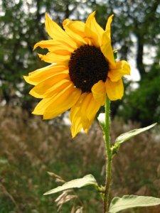 Plains Sunflower
