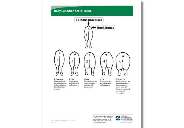Body Condition Score—Swine