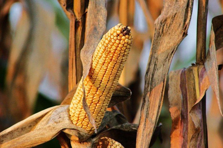 The Ongoing GMO Debate