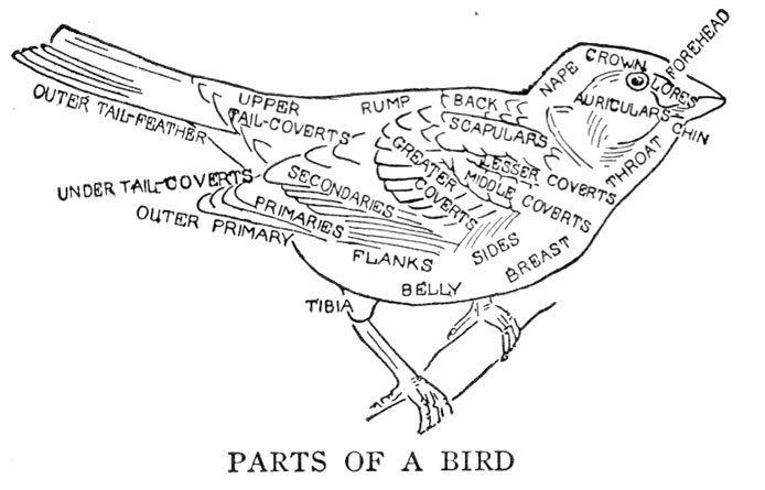 Birdwatching Glossary