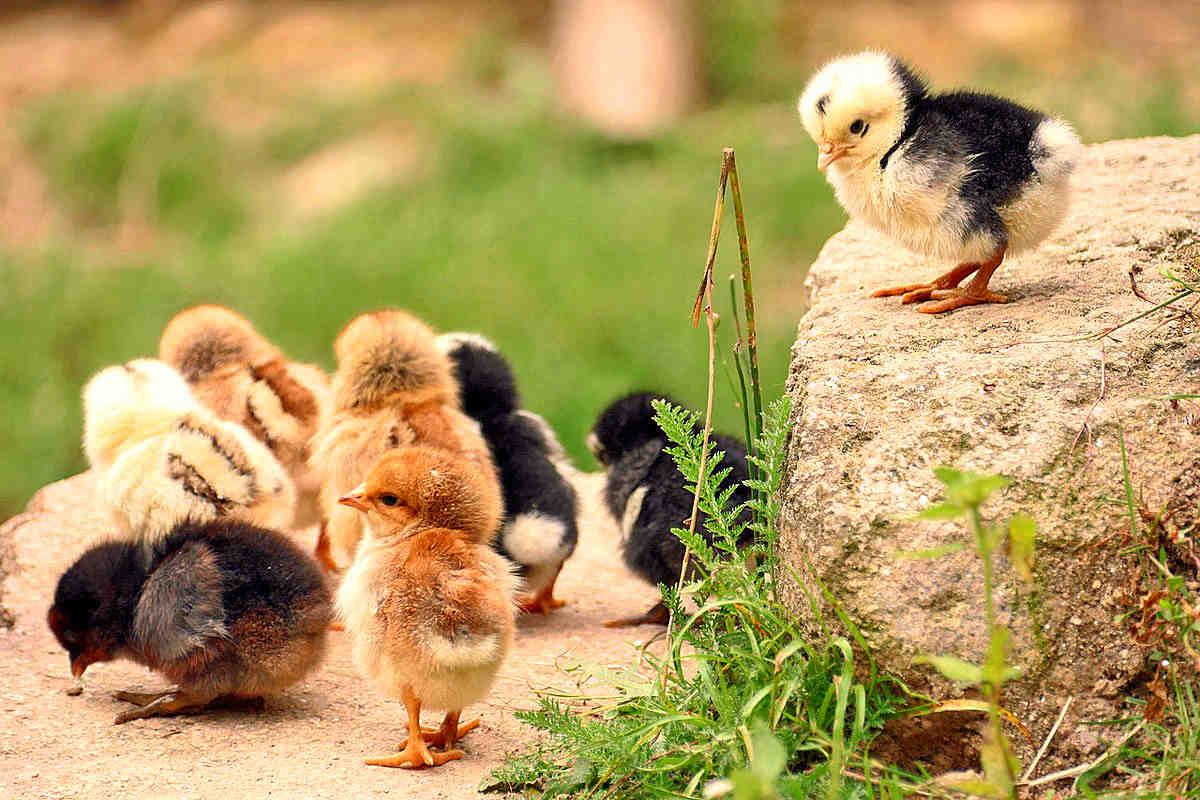 Chicken Breeds