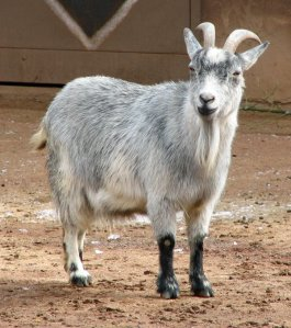 Pros and Cons of Miniature Livestock