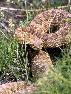 Rattlesnake or Kingsnake?