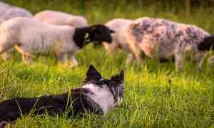 Pros and Cons of Herding Livestock with Dogs