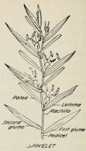 Parts of a Grass Plant: A Glossary
